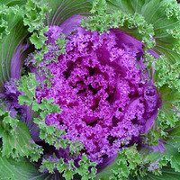 Beautiful Flowering Kale, Add Some Color to Your Landscape, 20 Seeds