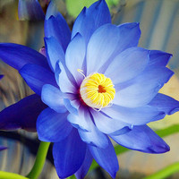 10pcs Blue Lotus Seeds Aquatic plants Water lily seed Bonsai plants Seeds