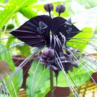 2015 HOT SALE Black Tiger Shall Orchid Flowers Seeds 100pcs Rare Flower Orchid Seeds Free shipping For Garden & Home Plants