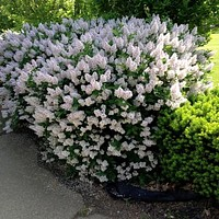 Korean Early Lilac Bush Seeds (Syringa oblata) 20+Seeds