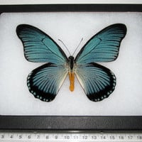 Real blue african papilio zalmoxis framed butterfly insect