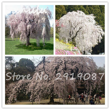 Rare White fountain weeping cherry tree seeds 10seeds/bag beautiful tree bonsai plant diy home garden dwart tree pretty