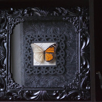 Descaled Monarch Butterfly - Insect Shadow Frame Display - Museum Bug Glass Home decor