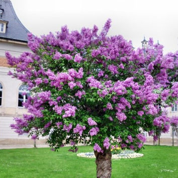 50 Purple Lilac Flower Seeds |Extremely Fragrant Clove Tree Seeds For Home & Garden Plants Decor Outdoor