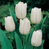 Tulip City Of Vancouver Dormant Bulbs (28-Pack), 70108 at The Home Depot - Mobile