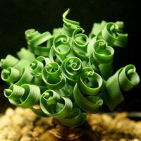 10 Rare Exotic Spiral Grass Seeds Curly Plant Morae Tortilis Broad Leaf Spring Sin Mankind Succulents Gardening Decor DIY Home Grow
