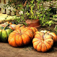 Pumpkin Cinderella Vegetable Seeds (Cucurbita maxima) 20+Seeds