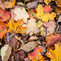 Fall Leaves - Fine Art Photography Autumn Fall Colors Maple Leaf Texture Orange Red Yellow Brown Nature