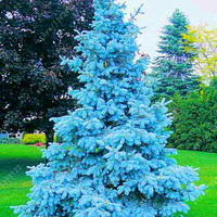 100 tree seeds rare Evergreen Colorado blue spruce seeds PICEA PUNGENS GLAUCA good for growing in pots, flower pot planters