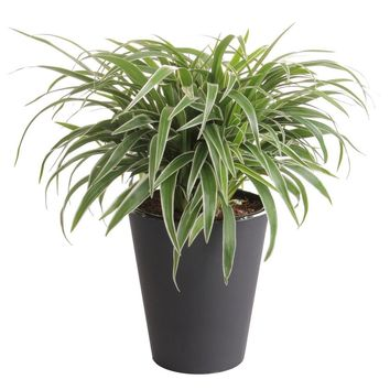 WaterWick 6 in. Spider Plant in Self Watering Pot-CHL6WWHD at The Home Depot