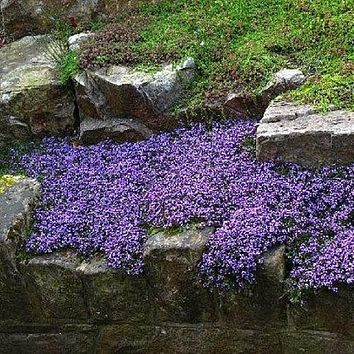 Creeping Mother of Thyme (Thymus Serpyllum) 100+Seeds
