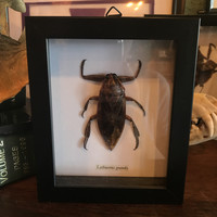 Lethocerus Indicus - Giant Water Bug
