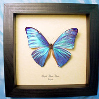 Wedding Day Gift Real Framed Blue Morpho Adonis Butterfly Shadowbox Display 766