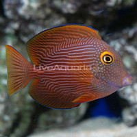 Saltwater Aquarium Fish for Marine Aquariums: Kole Yellow Eye Tang