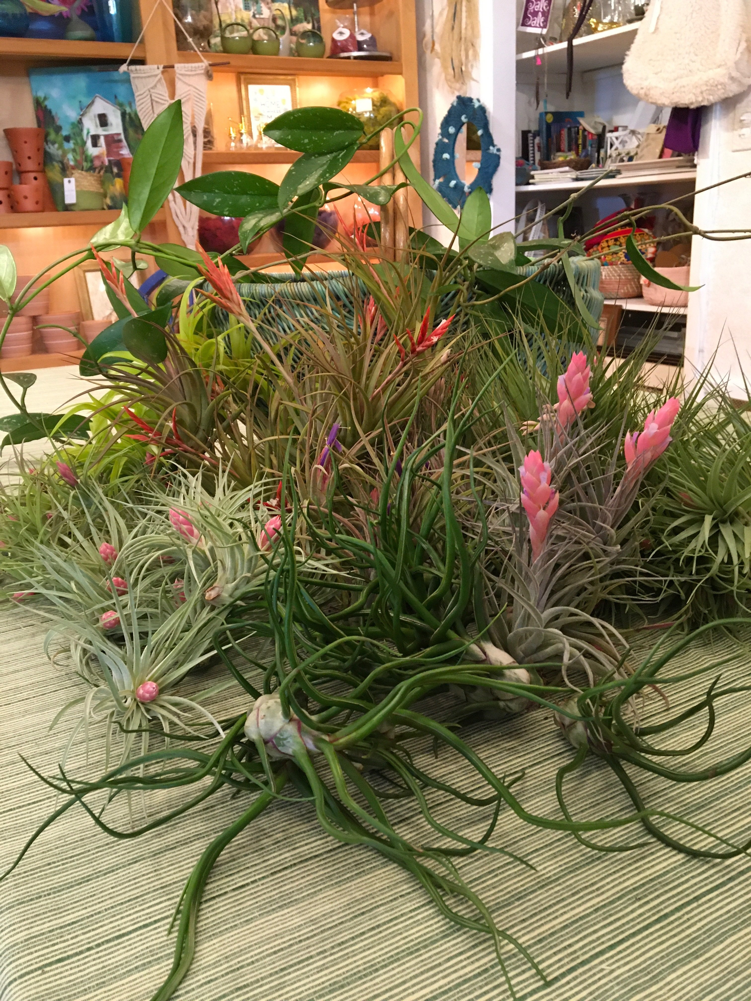 Image of Air Plant