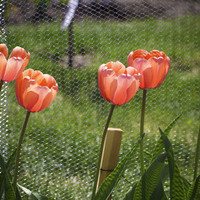 Tulips Stretched Canvas by Irène Sneddon