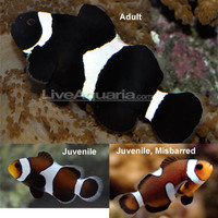 Saltwater Aquarium Fish for Marine Aquariums: Black and White Ocellaris Clownfish - Tank-Bred