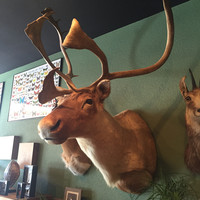 Taxidermy Caribou