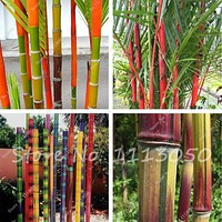 New Arrival 20 Pcs Bamboo Seeds Rare Giant Moso Bamboo Bambu Seeds Bambusa Lako Tree Seeds for Home Garden DIY Potted Plant