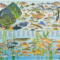 Freshwater Tropical Fish Education Poster 27x39