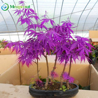 20PCS Purple Maple Seeds Rare in The World Is a Beautiful Purple Maple Bonsai Plants Trees