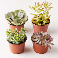 """Assorted 4"""" Live Succulents - Set of 4 