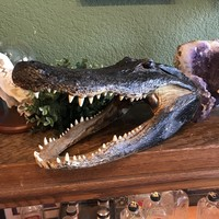 "18"" Alligator Head"