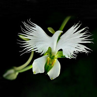 100 Japanese Radiata Seeds White Egret Orchid Seeds White Flowers Orchidee Garden & Home Planting