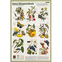 Insect Metamorphosis Education Poster 24x36