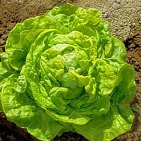 Lettuce White Boston Vegetable Seeds (Lactuca sativa) 200+Seeds