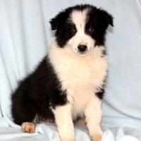 Border Collie Puppy for Sale: Chase - Border Collie Male - 599ed6cc-3f61
