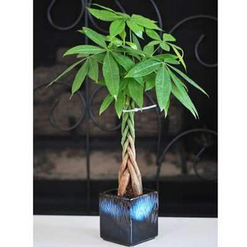 9greenbox - Live Lucky 5 Braided Money Tree Into 1 Pachira with Handmade Ceramic Pot Plants Lucky for 2012