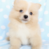 Pomeranian Puppies and Teacup Pomeranians For Sale at TeaCups