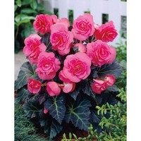 Shop Garden State Bulb 2-Pack Double Pink Tuberous Begonia (L02237A) at Lowe's