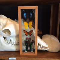 """Double Glass Butterfly Collection 4.5"""" x 12.5"""""""