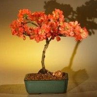 Bonsai Boy's Japanese Flowering Quince Bonsai Tree chaenomles 'toyo-nishiki'