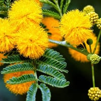 10 Golden Mimosa Flower Tree Yellow Seeds Garden Bonsai Potted Plant DIY Home Balcony Decor DIY