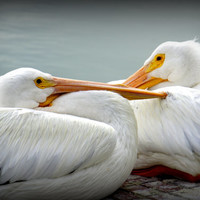 Snuggly Pelicans Photographic Print