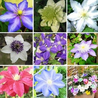 300 seeds/pack Climbing plant Clematis Hybridas Seeds Home Garden Balcony Potted Bonsai Clematis Flowers Seeds