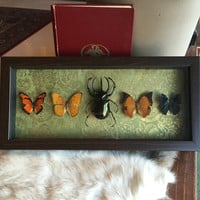 Mounted Beetle and Butterfly Collection