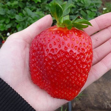 350 Super Big GIANT STRAWBERRY Rare Seeds, Largest Fruit, Everbearing