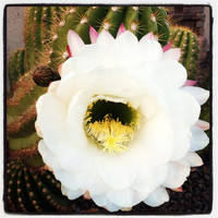 Cactus Flower 8oz all natural soy candle