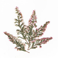 Light Pink Heather - Pressed Flowers