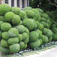 30 Exotic Juniper Balls Seeds Potted Plant Flowers Purify Air Absorb Harmful Gases, DIY Home Garden Plant , Very easy to grow outdoor