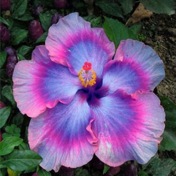 100 Giant Hibiscus Exotic Rare Coral Flower Seed Mix Colors Gardening Multi Color Heirloom