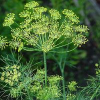 50 Dill seeds, anethum graveolens, dill, false anise, fennel bastard, stinking fennel, ecarlade, condiment and medicinal ...