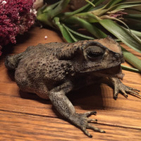Freeze Dried Toad