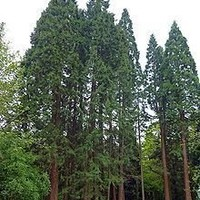 redwood, GIANT SEQUOIA TREE RED WOOD 3 seeds