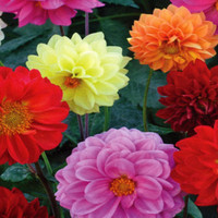 Heirloom Dahlia Showpiece Double Mix, Mostly Double Flowered, Large Blooms, 20 Seeds