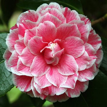 """5 Rare Camellia Japonica 'Herme"""" Flower Seeds Pink White Perennial Gorgeous Beautiful Color Home Gardening Decor DIY Hot Plant"""